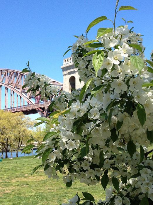 hellgate-bridge-white-flowers-astoria-park-queens
