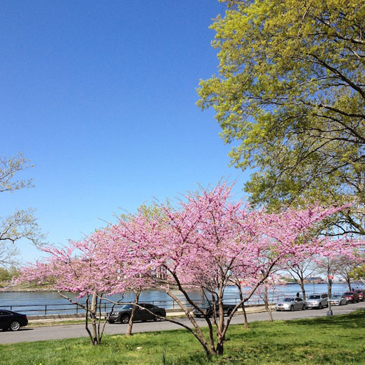 purple-tree-astoria-park-queens