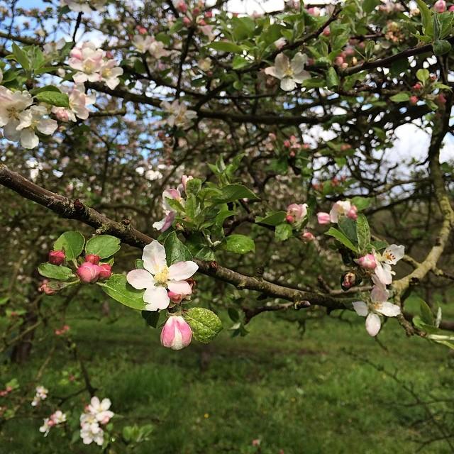apple-tree-flowers-france